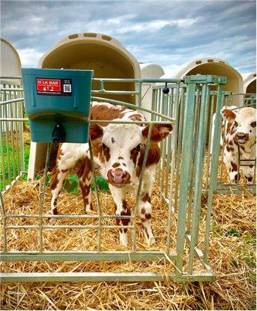 Galeata cu tetina pentru alaptarea viteilor, Milk Bar, 4l cu sistem fixare tetina fixata pe gardul metalic