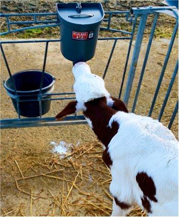 Vitel care suge de la o galeata Milk Bar de 3l, fixata pe grilaj