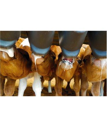 Hranitoare compartimentata vitei cu 10 tetine, Milk Bar, prductie saliva