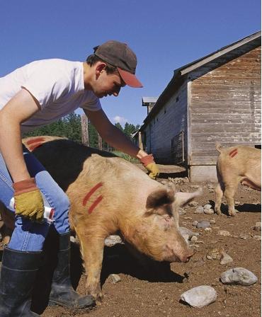Batoane vopsea temporara pentru marcarea animalelor, All-Weather Paintstick, marcare porci