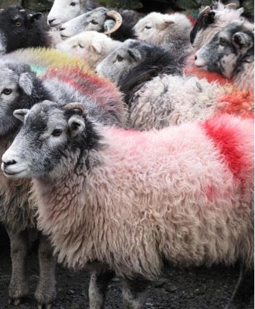 Spray vopsea pe baza de apa, cu uscare rapida, pentru marcarea animalelor, All-Weather Quickshot, marcare oi