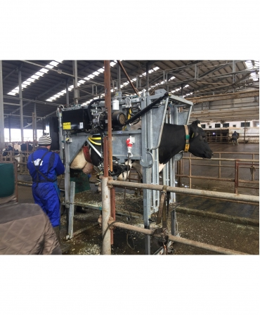Stand trimaj ongloane vaci, model KVK 800-1, in timpul trimajului