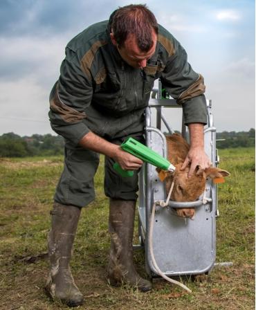 Ecornator electric portabil Express Farming Cosmos, pentru vitei, in lucru