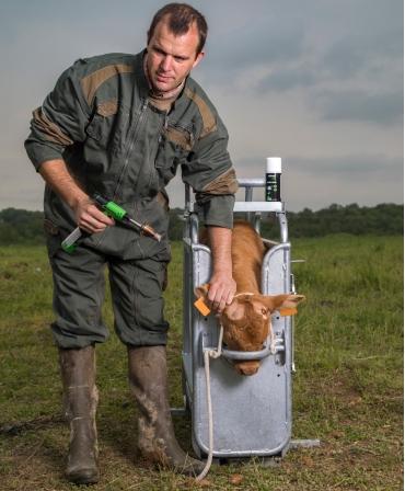 Ecornator cu gaz Express Farming Arkos, pentru vitei, in lucru