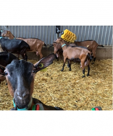Perie scarpinat animale mecanica, oscilanta, EasySwing Mini, capre in ferma