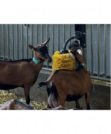 Perie scarpinat animale mecanica, oscilanta, EasySwing Mini, capre in utilizare