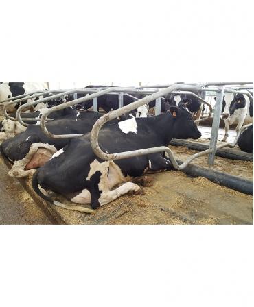 Saltea de odihna pentru vaci, pe pat de apa cu climatizare, AQUACLIM, vaci