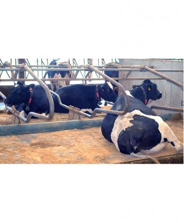 Vaca asezata pe saltea de odihna pentru vaci, pe pat de apa, PACIFIC