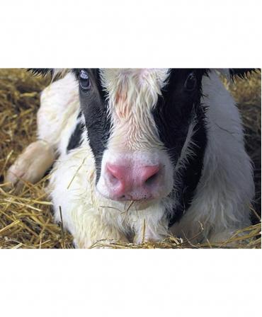 Spray respiratie pentru vitei, Excellent Respi Boost, vitel