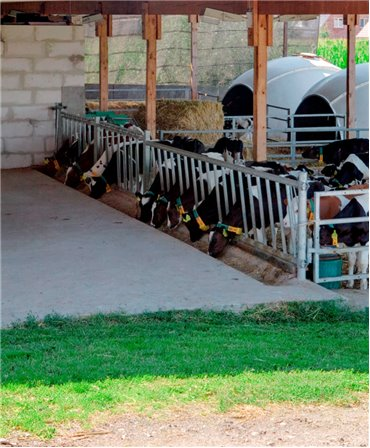Front de furajare diagonal fix pentru vitei, H&L, 4,85 m, 17 posturi